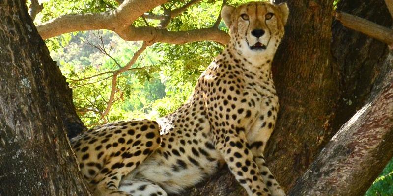 Mauritius Island cheetah