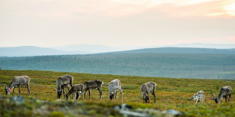 Reindeer_summer_Kakslauttanen
